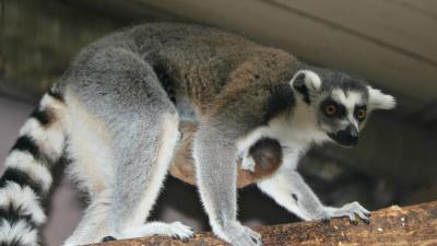 Пополнение в нижегородском зоопарке: крошечного лемурчика мама пока прячет от посторонних глаз