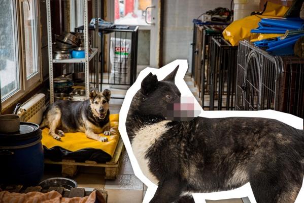 Гуня, несмотря на свою особенность, живет полноценной собачьей жизнью и нашел свое место в стае