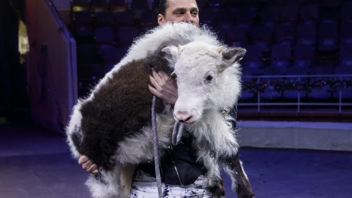 «Животные жили полноценной семейной жизнью»: в волгоградском цирке за время пандемии родился символ Нового года