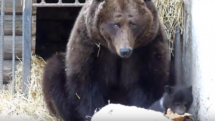 Новорождённые медвежата из Большереченского зоопарка вышли на первую прогулку