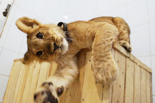 В Новосибирске львенок жил в частных владениях, но хозяева решили подарить его центру спасения диких животных «Велес»<br>
