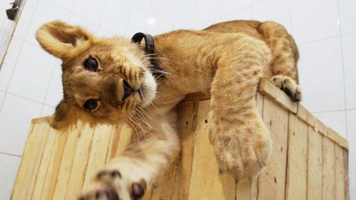 Крошку львенка увезли из Новосибирска в Санкт-Петербург — там он возглавит прайд (взгляните на это чудо!)