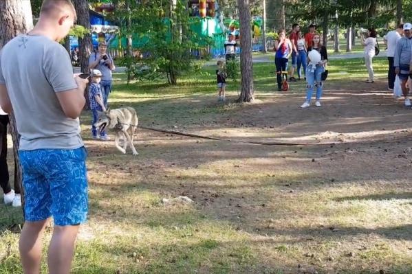 Против прогулок волка выступает и администрация парка, но животные по-прежнему на месте