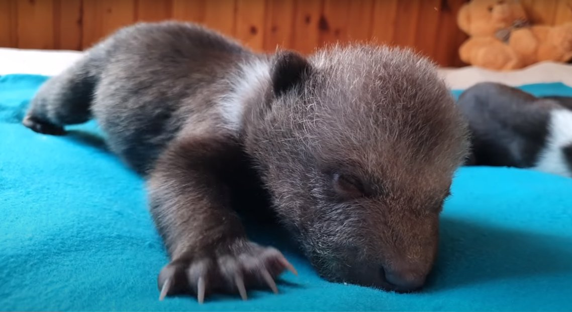 Маша. Кадр из видео в YouTube-каналеRussia Baby Bear Rescue