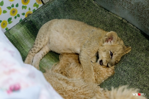 В начале июня молочного львенка пытались вывезти в Москву