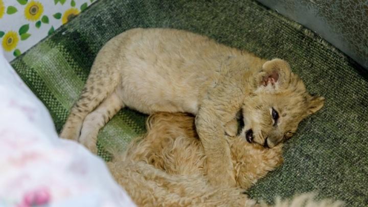 В Волгограде спасенного полицейскими львенка выбрали талисманом всероссийской акции