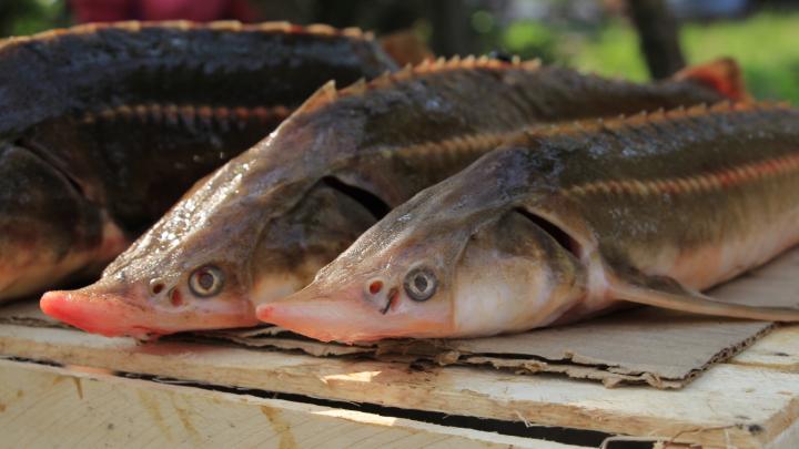 В сентябре в Архангельской области возбудили 54 административных дела за незаконную ловлю рыбы