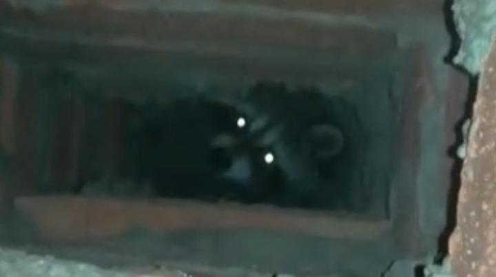 В вентканале многоэтажки в Уфе поселился енот. Его поймали, когда он проголодался и вернулся к ужину