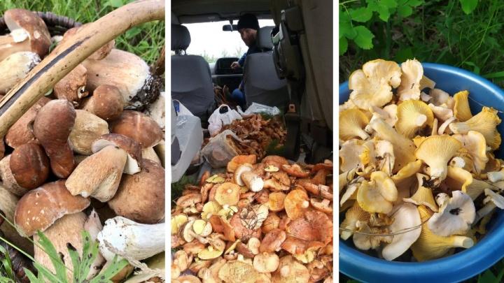 Вышли на тихую охоту: жители края делятся в сетях фото собранного урожая грибов