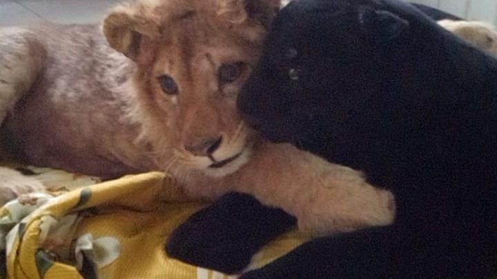 После разговора Даллакяна с Путиным полиция начала выяснять, кто издевался над львёнком Симбой