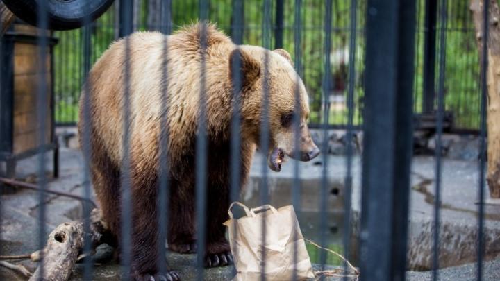 Новосибирский зоопарк задумал построить вольеры для бурых и гималайских медведей