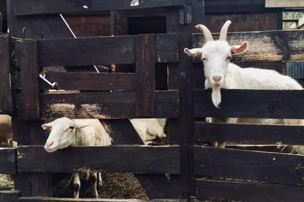 Субсидию на приобретение животных будут давать только жителям сельской местности