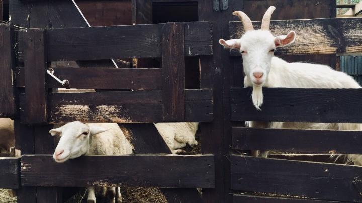 Правительство Зауралья потратит 30 миллионов рублей на субсидию для приобретения скота