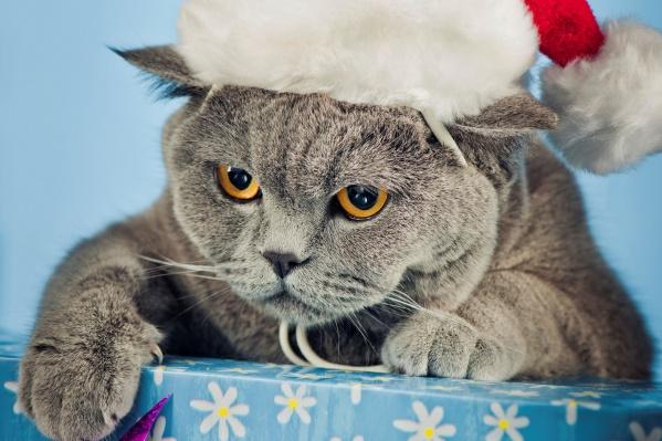 «Главную кошку Челябинска 2020» назовут 25 декабря