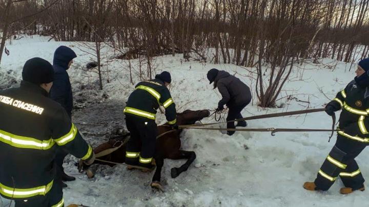 В Архангельске спасатели вытащили из ледяной воды коня: видео, снятое в сложнейший момент