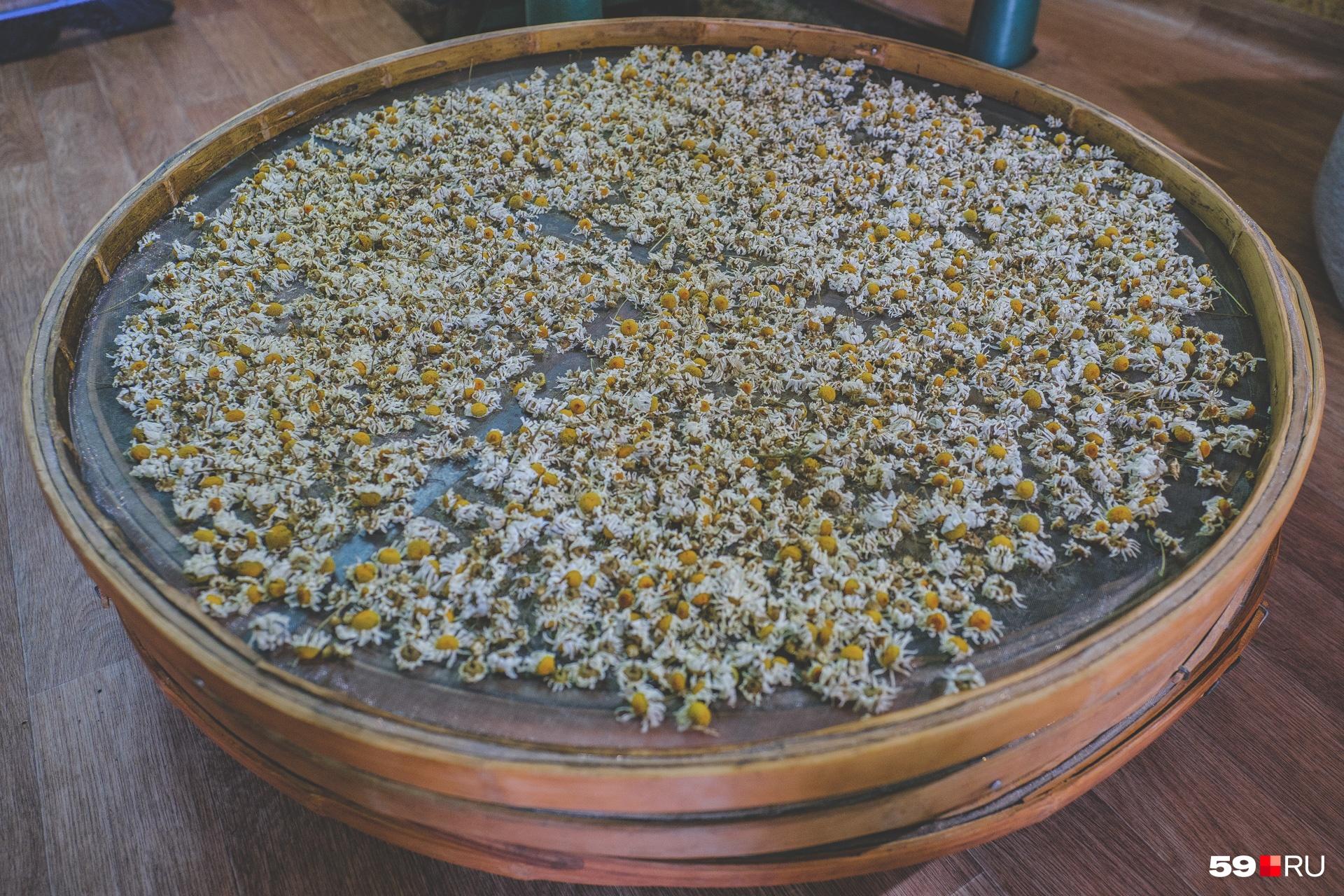 Цветы ромашки сушат при щадящей температуре 50 градусов