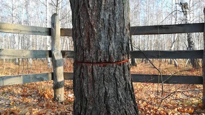 В Башкирии варвары спилили 400-летние деревья, которые выстояли в войну