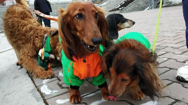«Без нашего парада весна не настанет»: собаки ирландских пород с хозяевами прогулялись по Плотинке