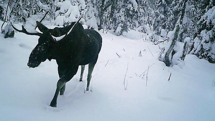 Заповедник «Вишерский» опубликовал видео с фотоловушек. Смотрим на лосей, медведя и соболя