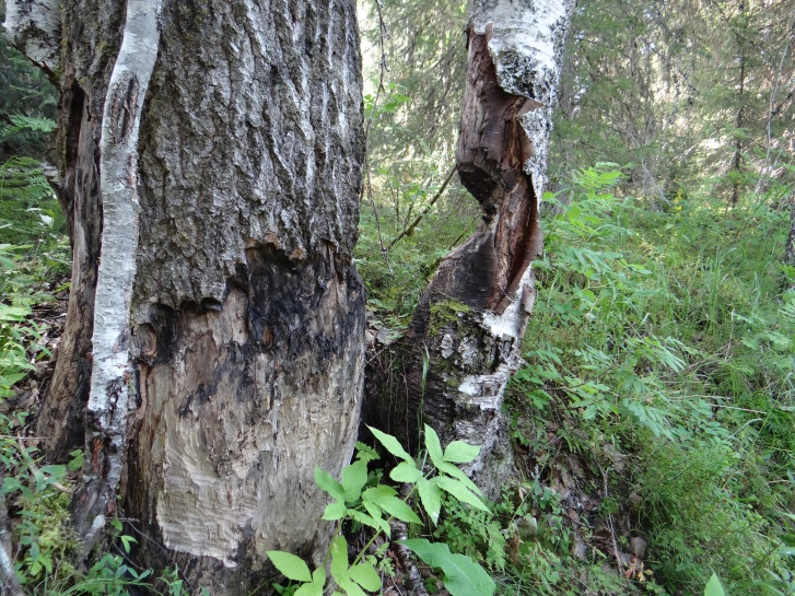 Мощные деревья бобр перегрызает за несколько ночей, вытачивая ствол по принципу песочных часов