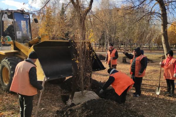 Рабочие высадили крупные саженцы тополей