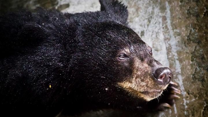 Жители Семенова боятся выходить на улицу после того, как там медведь напал на мужчину