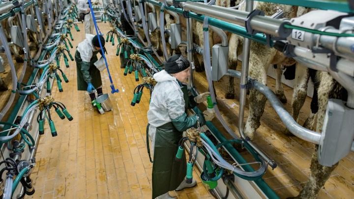 В Красноярском крае при поддержке МСП Банка построят ферму мощностью 51 000 тонн сырого молока в год
