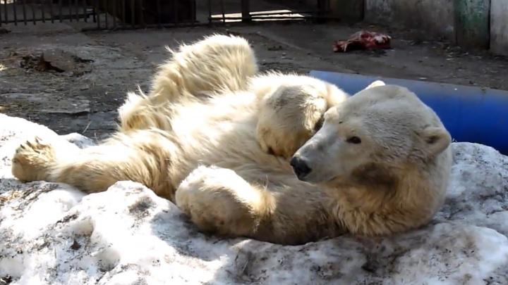 В Большереченский зоопарк привезли молодую белую медведицу