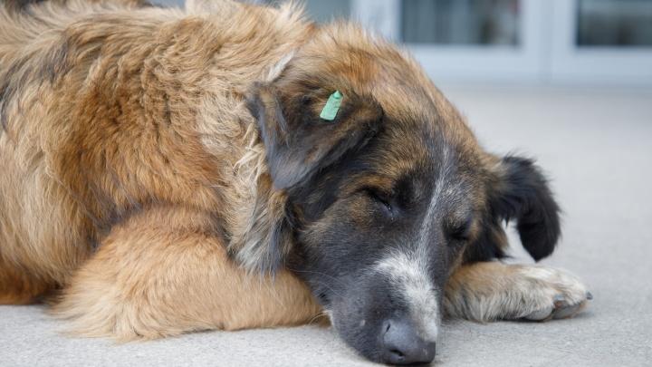 «Она же должна быть не агрессивной?»: на волгоградку напала чипированная собака