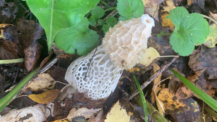 Новосибирцы нашли в лесу гриб необычной и интригующей формы — показываем фото
