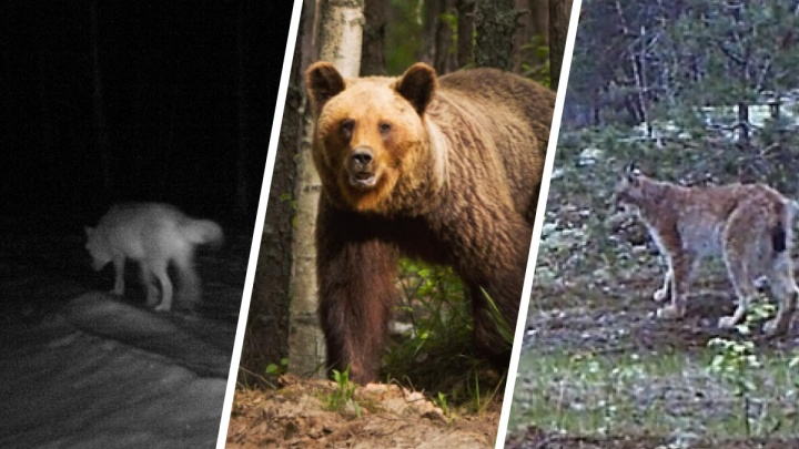 «Откуда в лесу звери?» Считаем волков, медведей и рысей в Нижегородской области