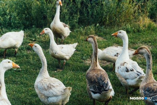 Сейчас во многих районах Омской области в массовых количествах уничтожают диких и домашних птиц