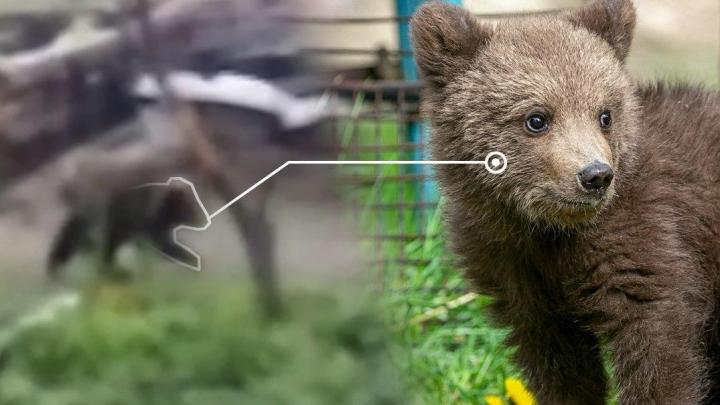 «Жена боится выходить из дома»: уралец снял, как медведь ест яблоки в его саду
