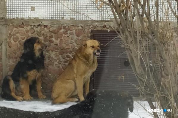 Агрессивные собаки на Металлургов