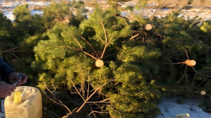 Жители коттеджного поселка под Челябинском пожаловались на массовую вырубку сосен