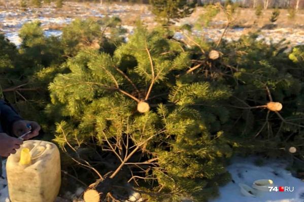 Деревья вырубили около коттеджного поселка Родного под Челябинском