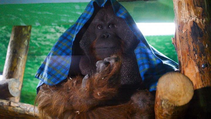 Орангутан Захар скучает по людям: как екатеринбургский зоопарк переживает карантин
