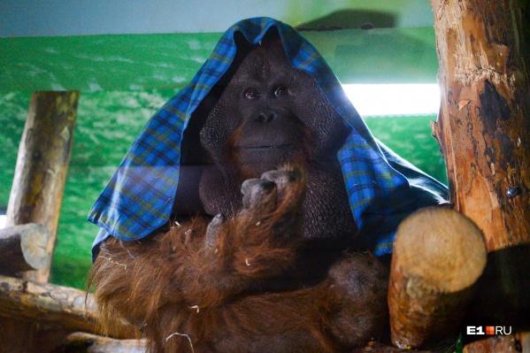 Орангутан Захар скучает по посетителям