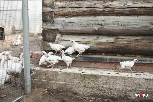 В Курганской области в районах наблюдаются вспышки птичьего гриппа