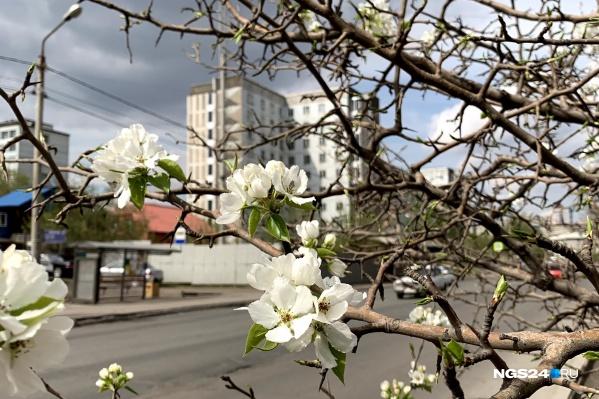 К началу мая в Красноярске уже все зацвело