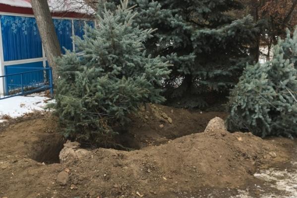 На этой неделе из горсада Волгограда вывели многолетние голубые ели