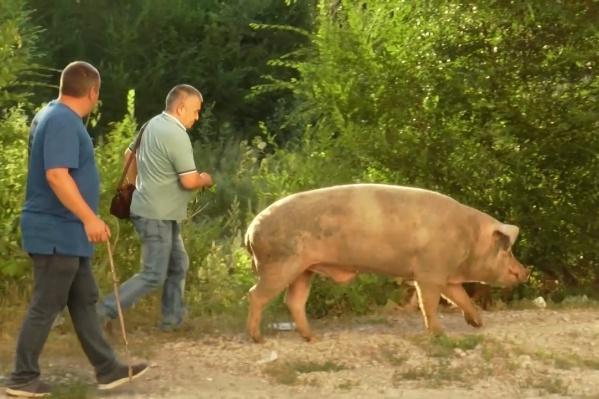 Свину помогли добраться до хозяина