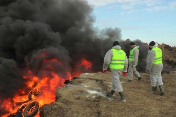 Свиней с зараженных территорий изымают и ликвидируют