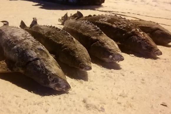 Три года за пять осетров: браконьер на снегоходе попался с краснокнижной рыбой на севере края