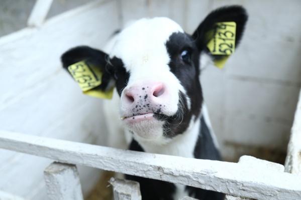 Теленка можно получить,только если уже есть дойная корова