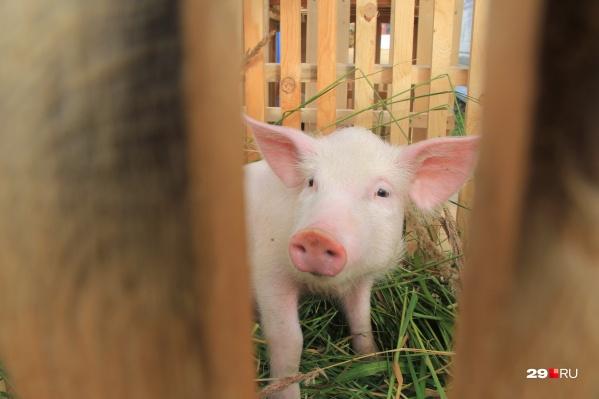 Заболевание обнаружили у диких кабанов и домашних свиней