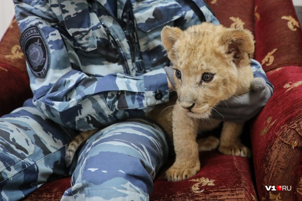 Судьба волгоградского львенка взволновала тысячи жителей России