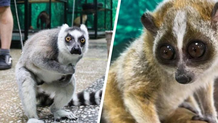 На Avito выставили на продажу целый зверинец — среди животных есть кошачий лемур за 120 тысяч