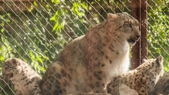 Пытались спасти в течение месяца: в пермском зоопарке умерла самка снежного барса