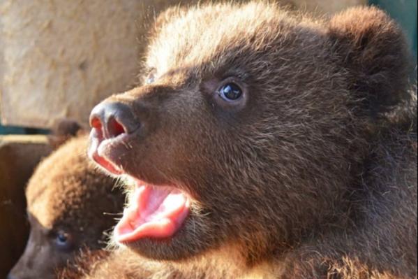 Медвежатам около двух месяцев, у них начинают резаться зубы